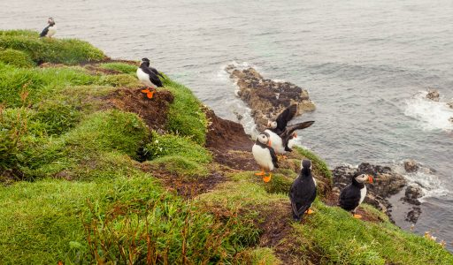 A group of puffins on a clifftop in Scotland.