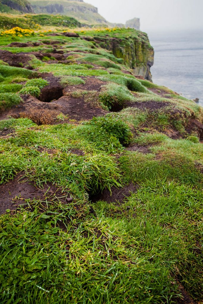 Holes marking the burrows of puffins in the loose and grass-covered soil on a clifftop