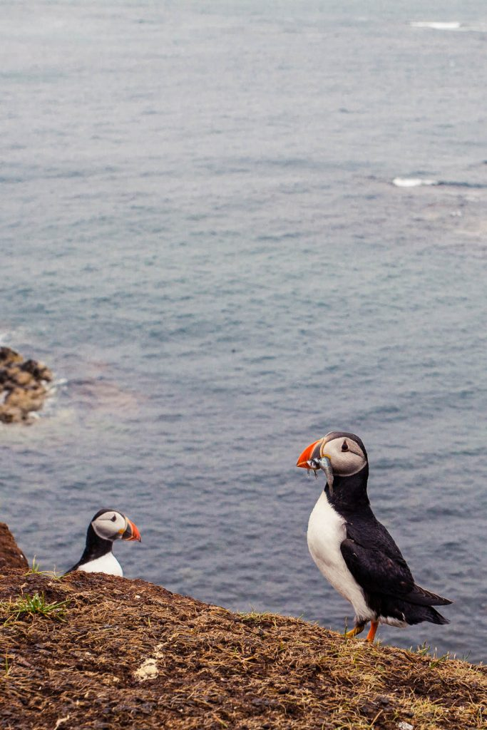 Two puffins sitting at a cliff edge, one with several silver fish in its beak.