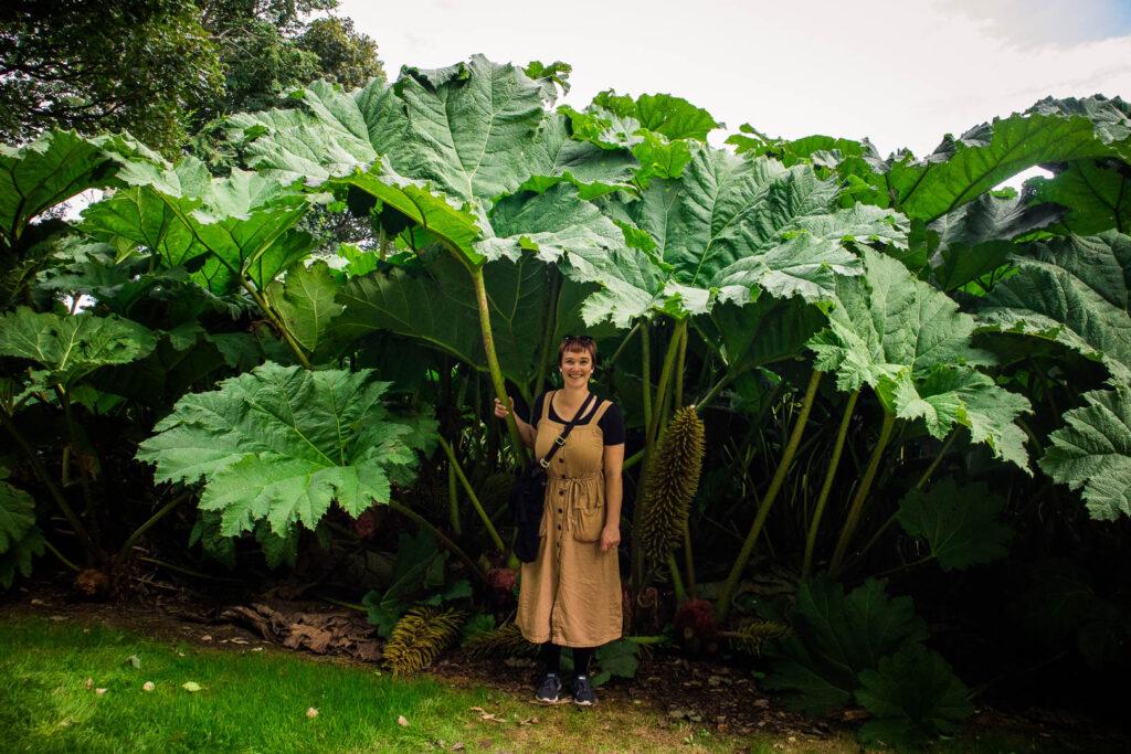 Standing under a giant Gunnera plant at Logan Botanic Garden