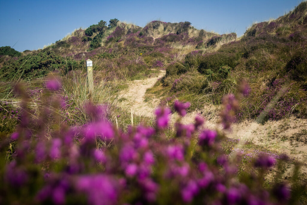 Sandy dunes with heather in the southwest of Scotland